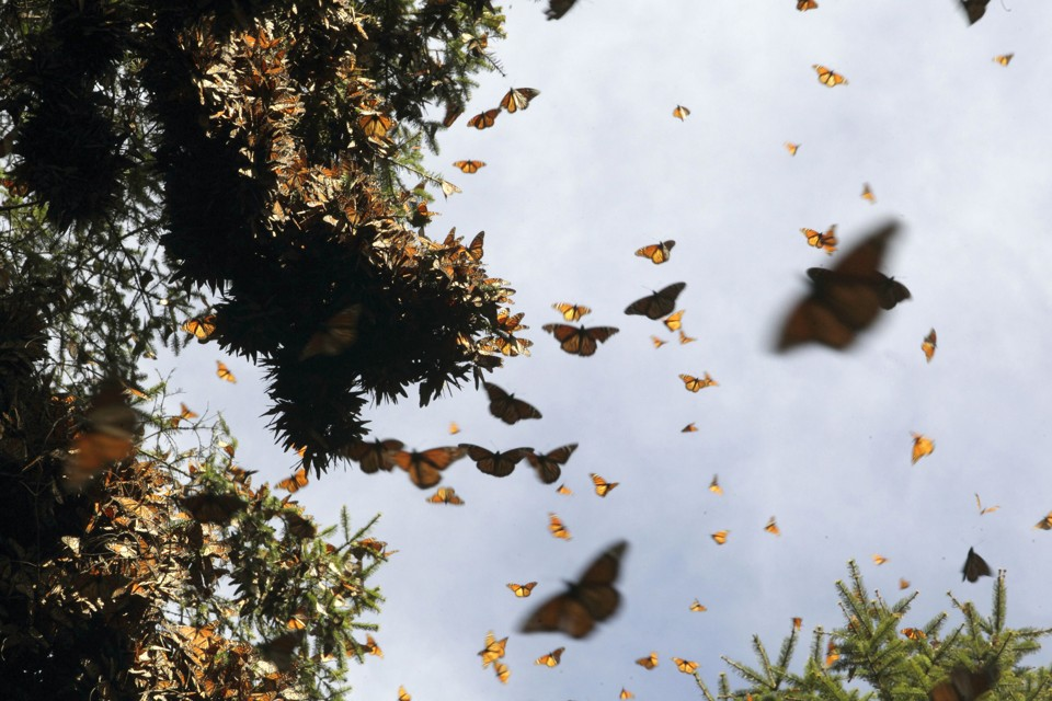 Hundreds of Monarch butterflies fly at the Pedro Herrada butterfly sanctuary, on a mountain in the Mexican state of Michoacan, February 1, 2011. The Monarchs are the only migratory insects in their species and travel 4000 kilometres (around 2500 miles) twice a year between their summer home in Canada and their winter home in Mexico.   Picture taken February 1, 2011 REUTERS/Felipe Courzo (MEXICO - Tags: ENVIRONMENT ANIMALS) - RTXXEM2