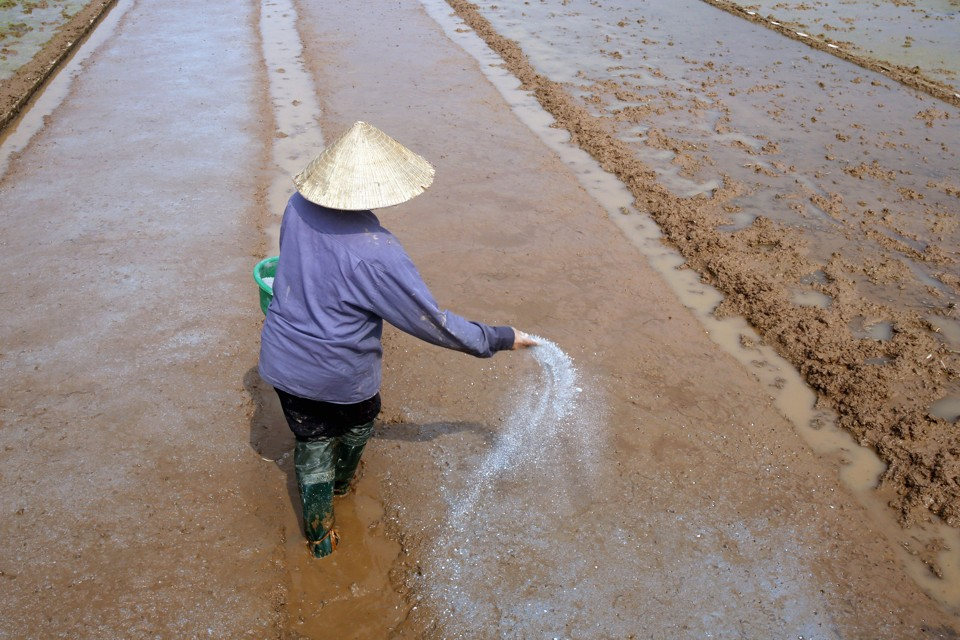 A farmer spreads fertilizer while preparing the land for rice planting in Ngoc Nu village, south of Hanoi January 22, 2015. Rice prices in Thailand and Vietnam fell this week under rising supply pressure, with the Thai government planning a major tender next week and Vietnam set to harvest its main crop from late February, traders said on Wednesday. REUTERS/Kham (VIETNAM - Tags: AGRICULTURE BUSINESS) - RTR4MF06